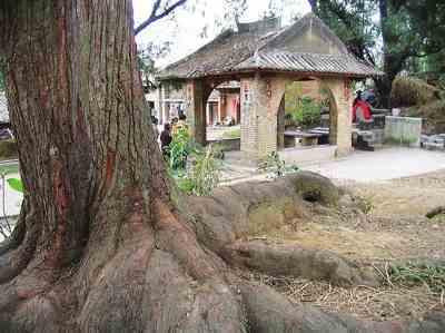 三美女体验黑人巨根_怀橘坊三多社神位附近的古树巨根.